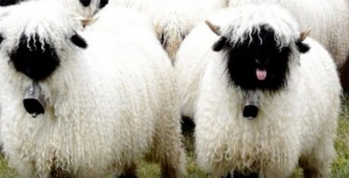 blacknose-sheep